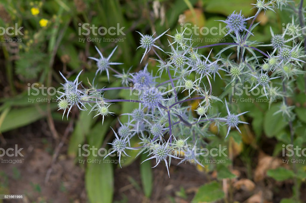 Eryngo flowers on a field closeup stock photo