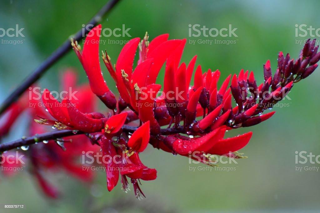 Erythrina x Bidwillii / Coral Tree Flower stock photo