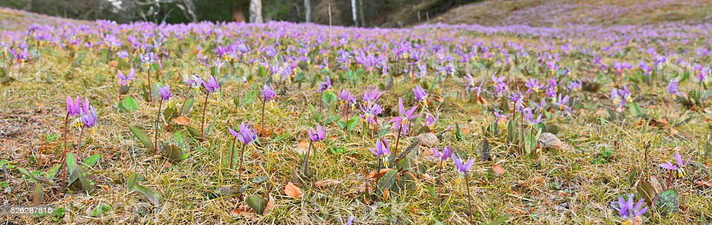 Erythronium sibiricum stock photo