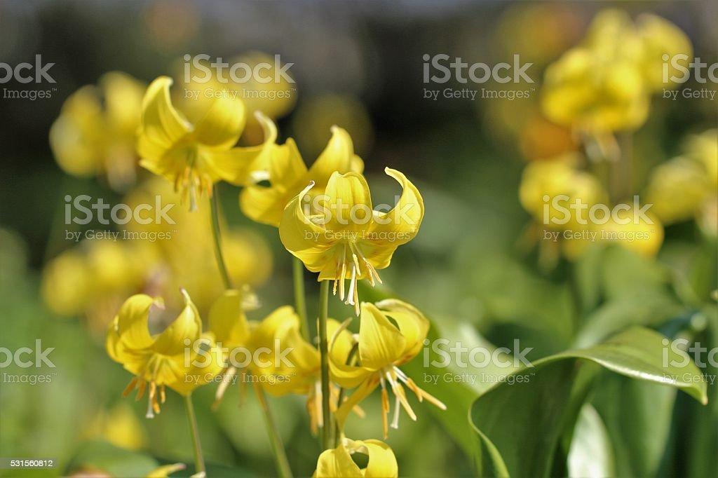 Erythronium tuolumnense flowers stock photo