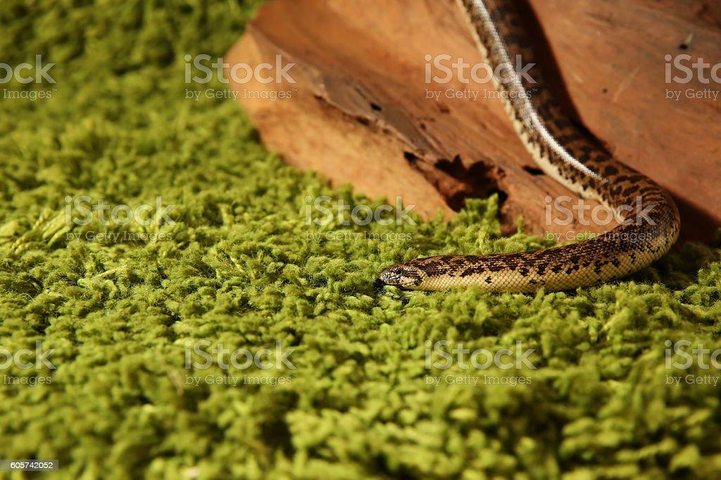 Eryx jaculus snake, Javelin sand boa stock photo