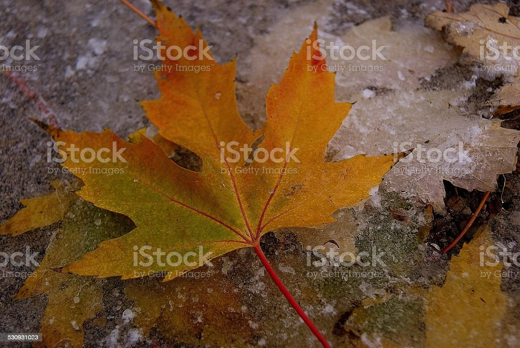 Escaped Maple royalty-free stock photo
