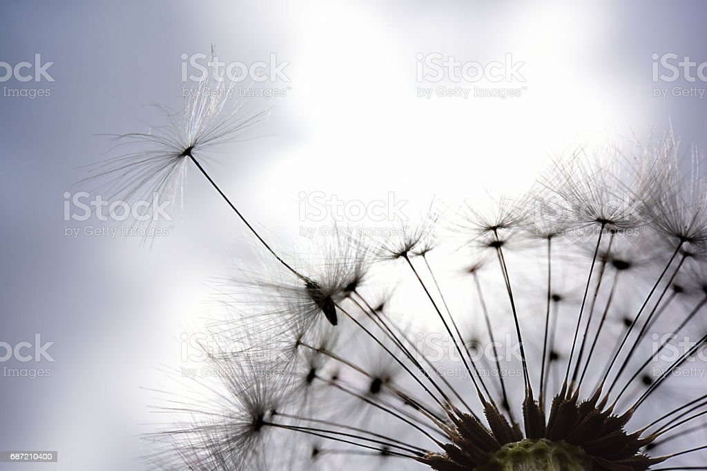 Escaping Dandelion Seed stock photo