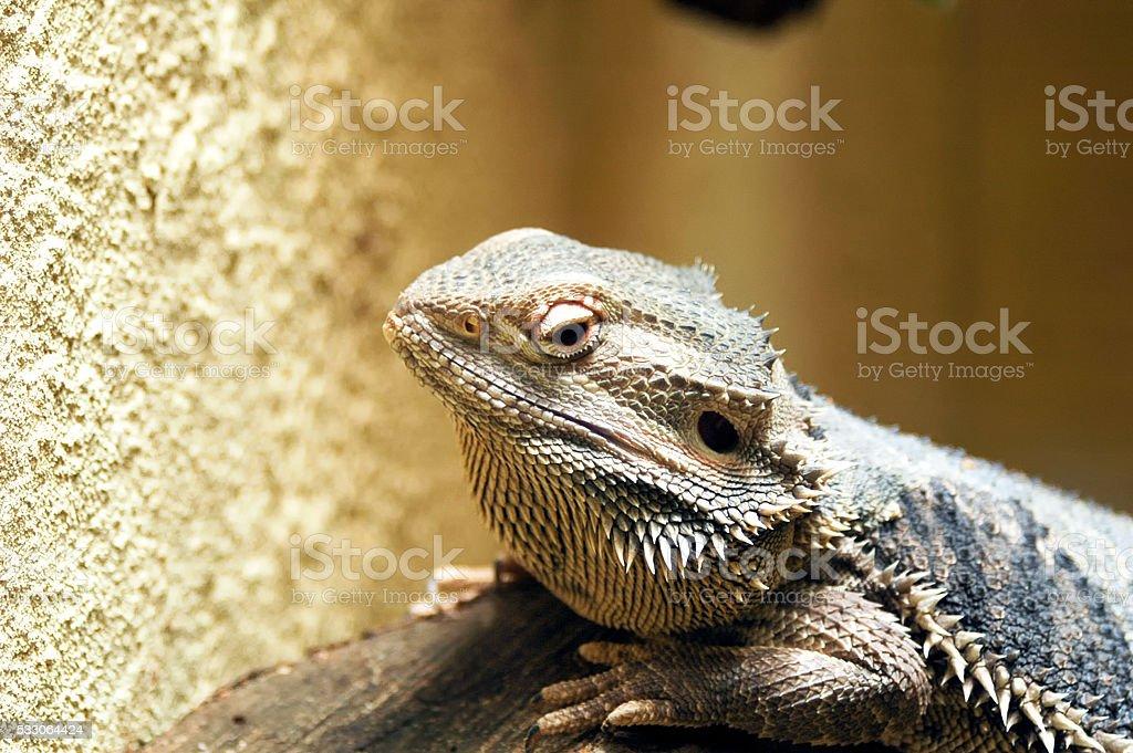 Esceloporus magister (desert spiny lizard) stock photo