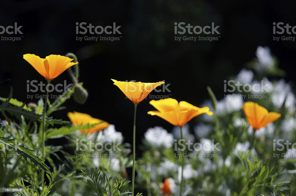Eschscholzia californica flowers royalty-free stock photo