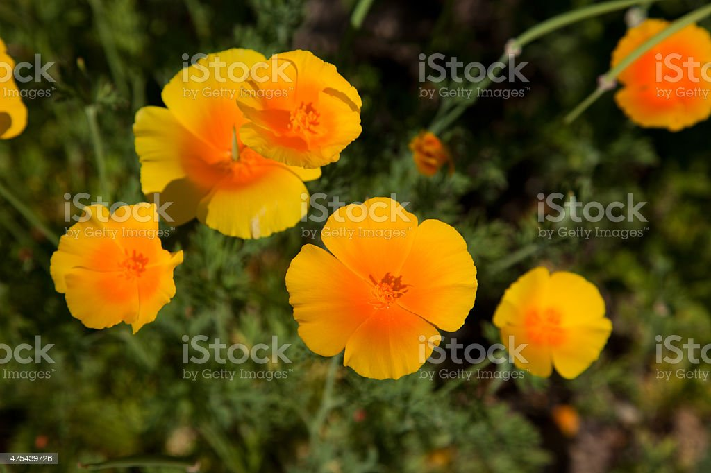 Eschscholzia californica stock photo