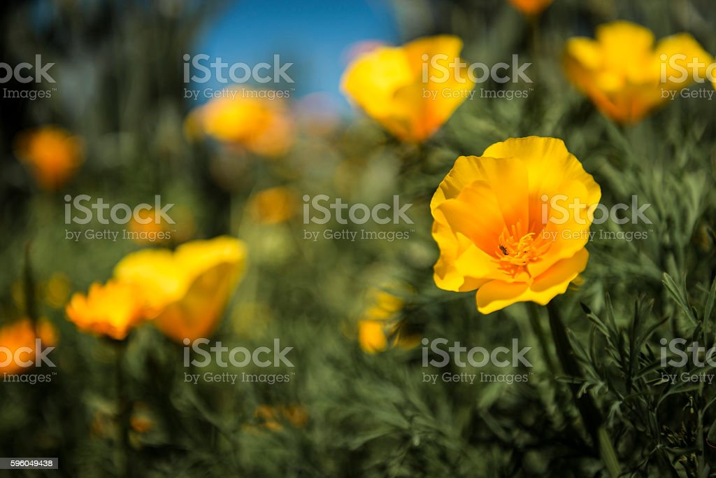 Eschscholzia stock photo