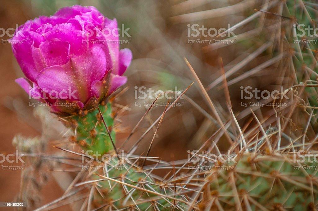 Escobaria, pincushion cactus or foxtail cactus stock photo