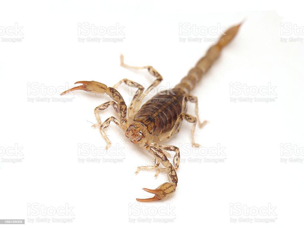 Escorpion royalty-free 스톡 사진