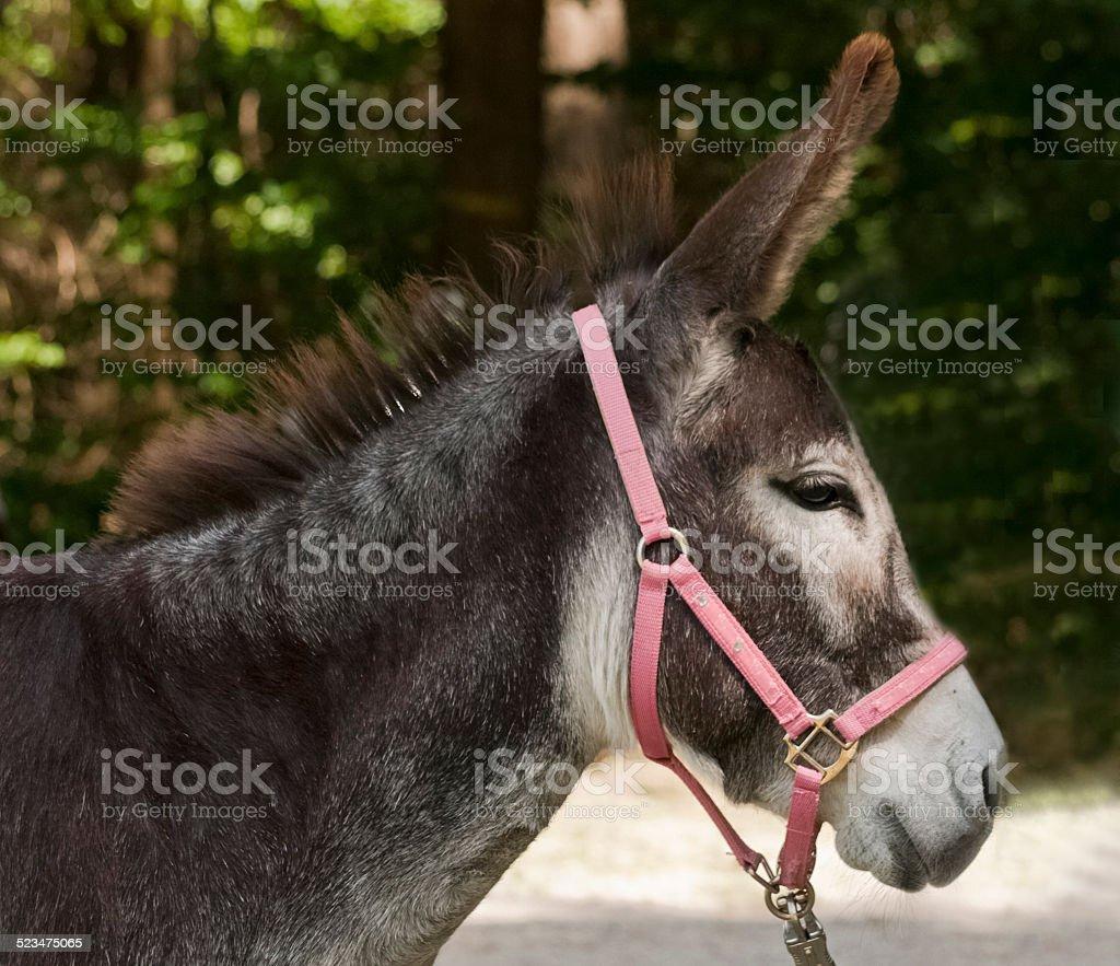 Esel Portrait stock photo