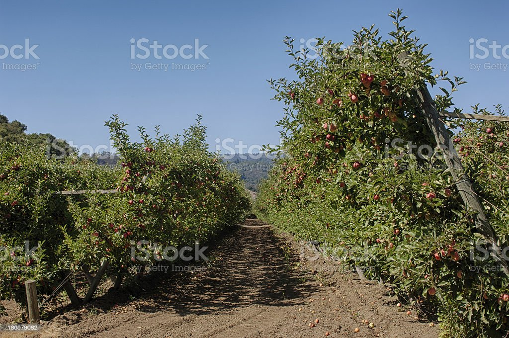 Espalier Organic Apple Orchard royalty-free stock photo