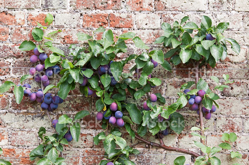 Espalier Tree with Victoria Plums stock photo
