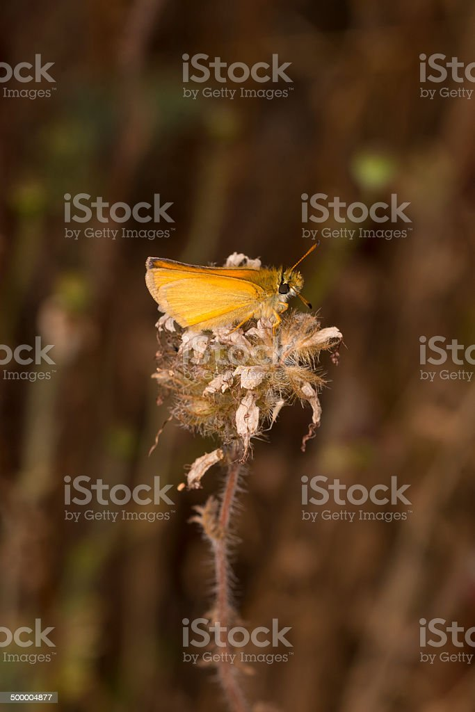 Essex Skipper Butterfly royalty-free stock photo