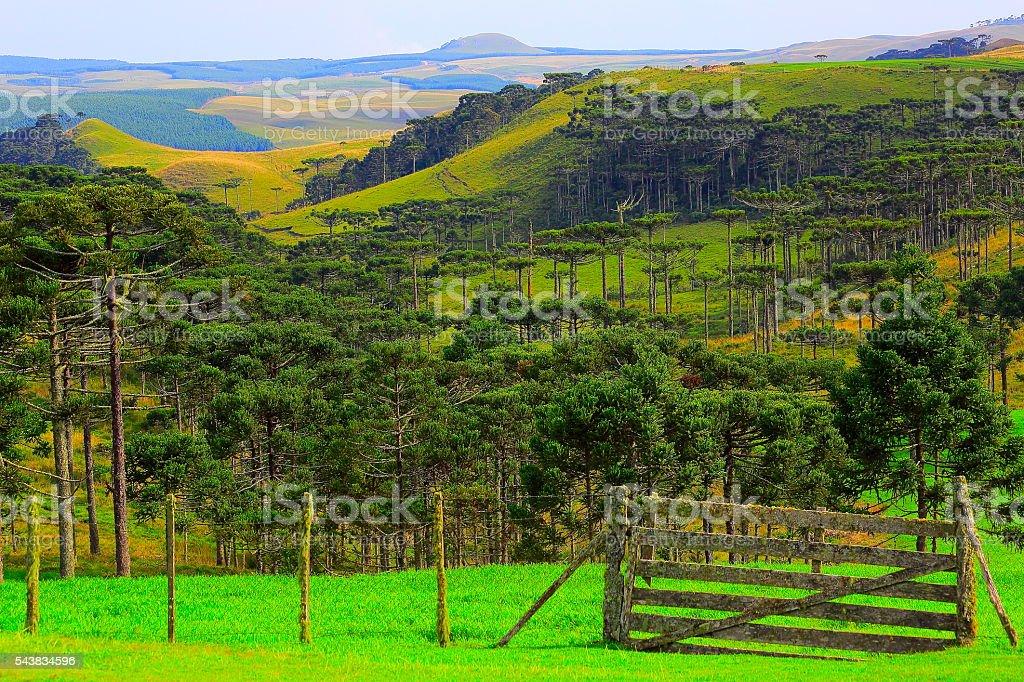 Estancia, araucarias brazilian pine trees, Southern Brazil idyllic countryside landscape stock photo