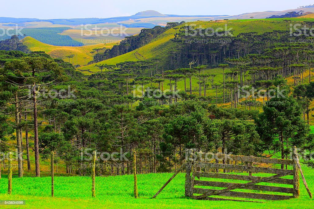 Estancia, araucarias brazilian pine trees, Southern Brazil idyllic countryside landscape stock photo