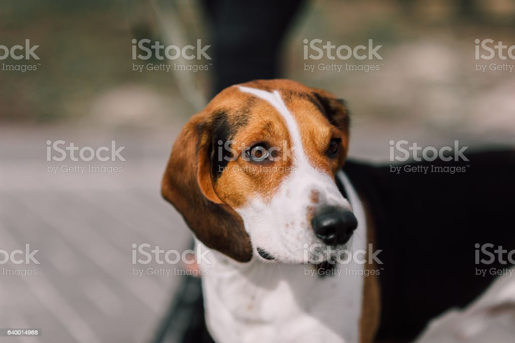 Estonian Hound dog outdoor close up portrait at cloudy day stock photo
