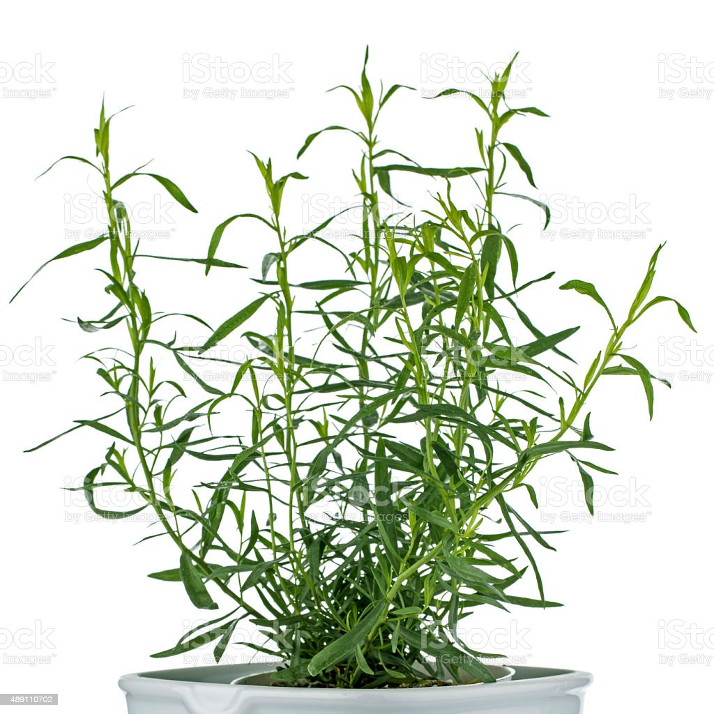 Estragon herb stock photo