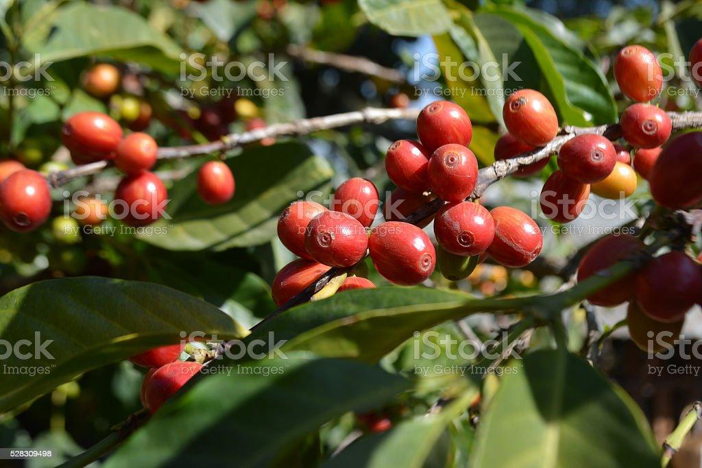 Ethiopian coffee stock photo