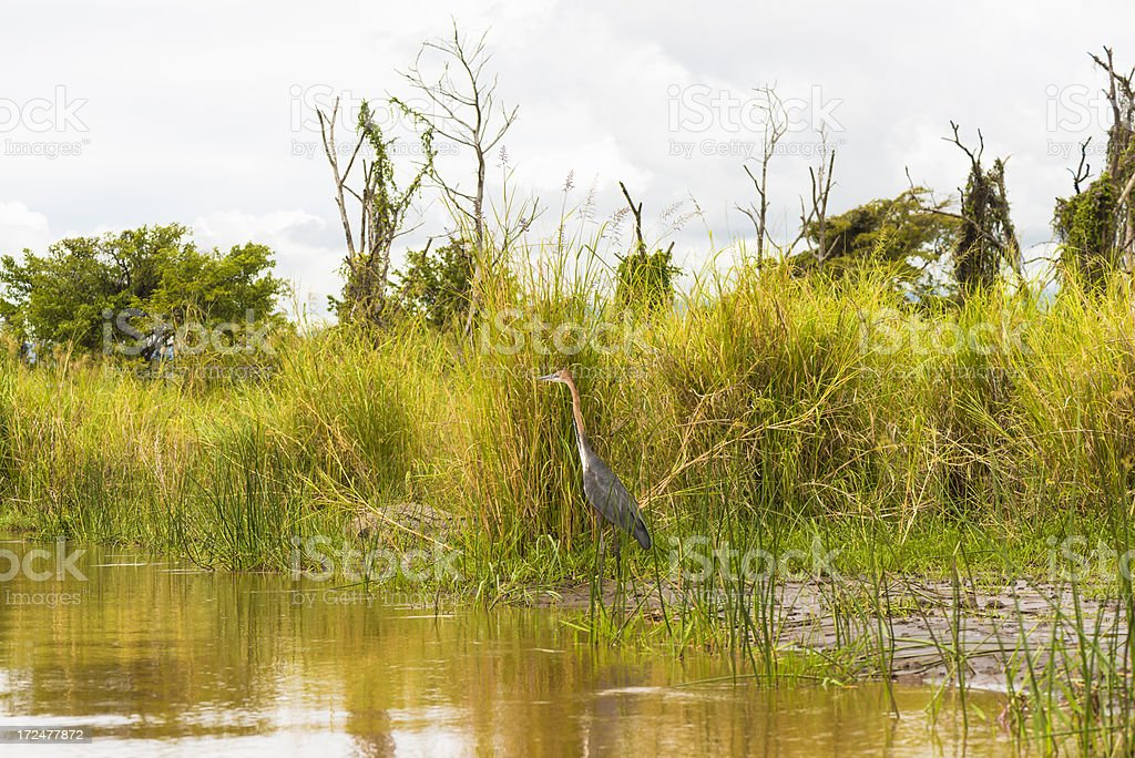 Ethiopian crocodile and heron stock photo