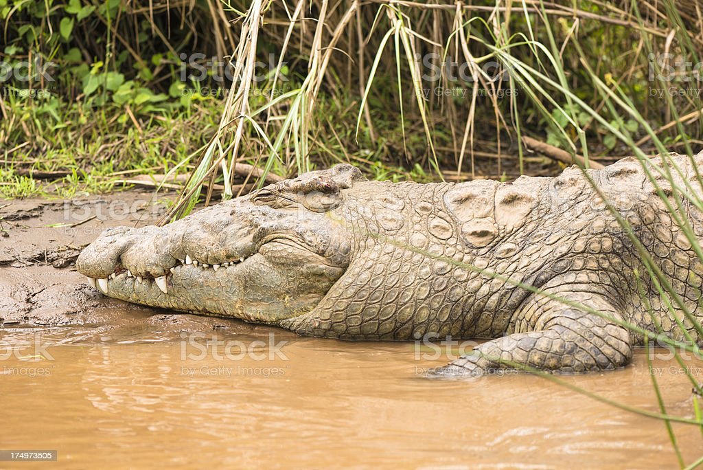 Ethiopian crocodile stock photo