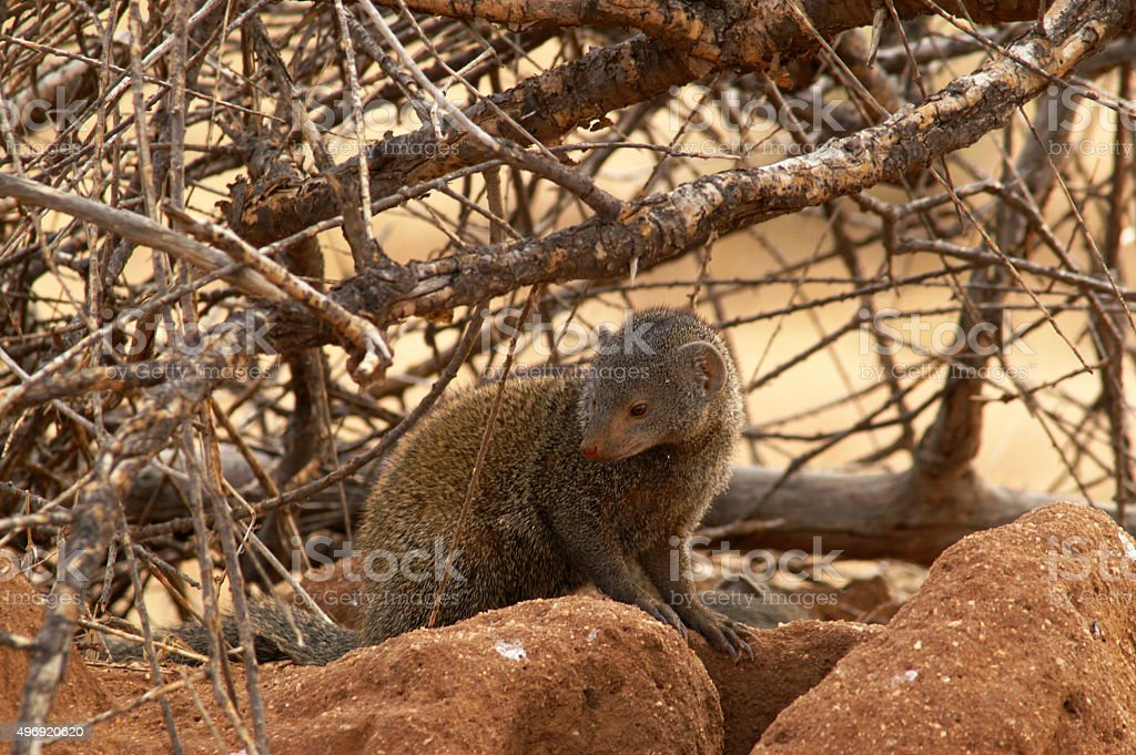 Ethiopian dwarf mongoose stock photo