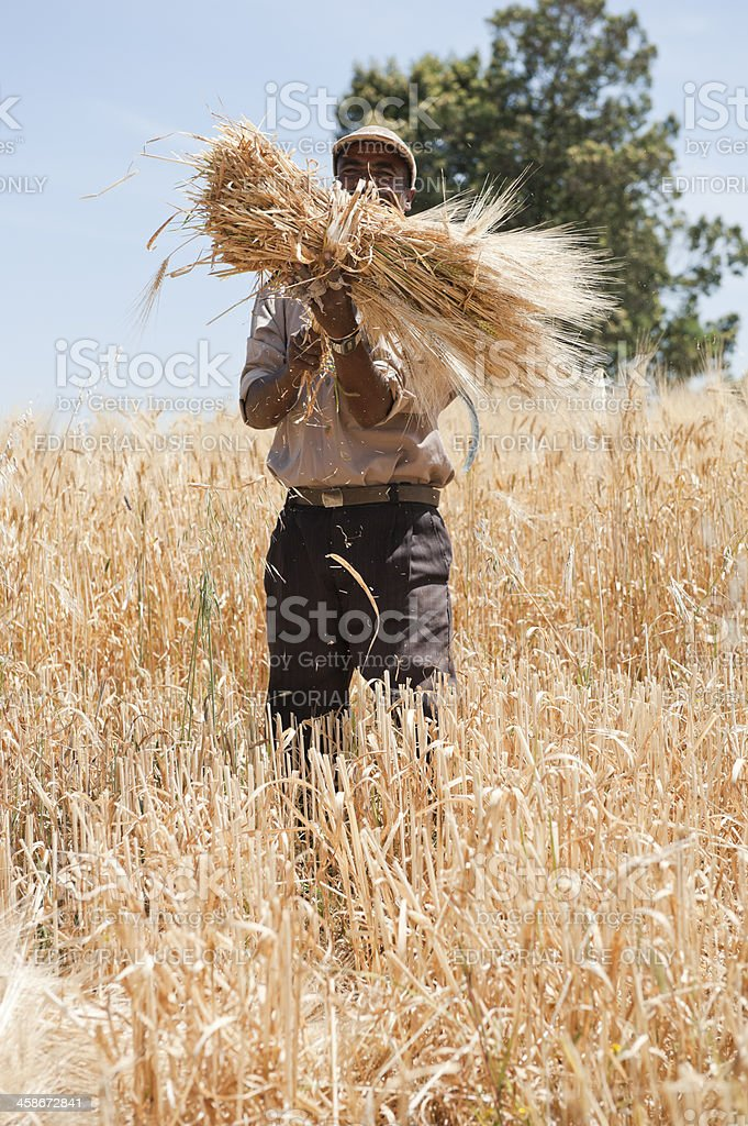 Ethiopian farmer cutting, harvesting wheat royalty-free stock photo
