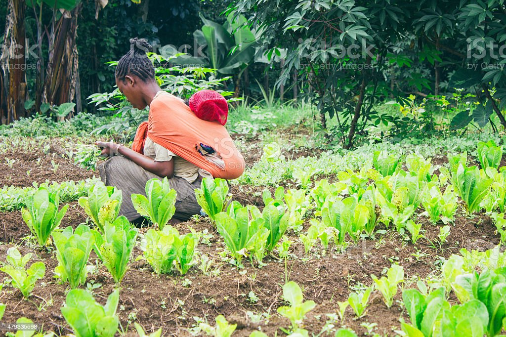 Ethiopian farmer picking lettuce in a orchard in Ethiopia stock photo