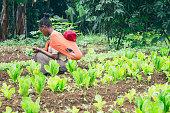 Ethiopian farmer picking lettuce in a orchard in Ethiopia