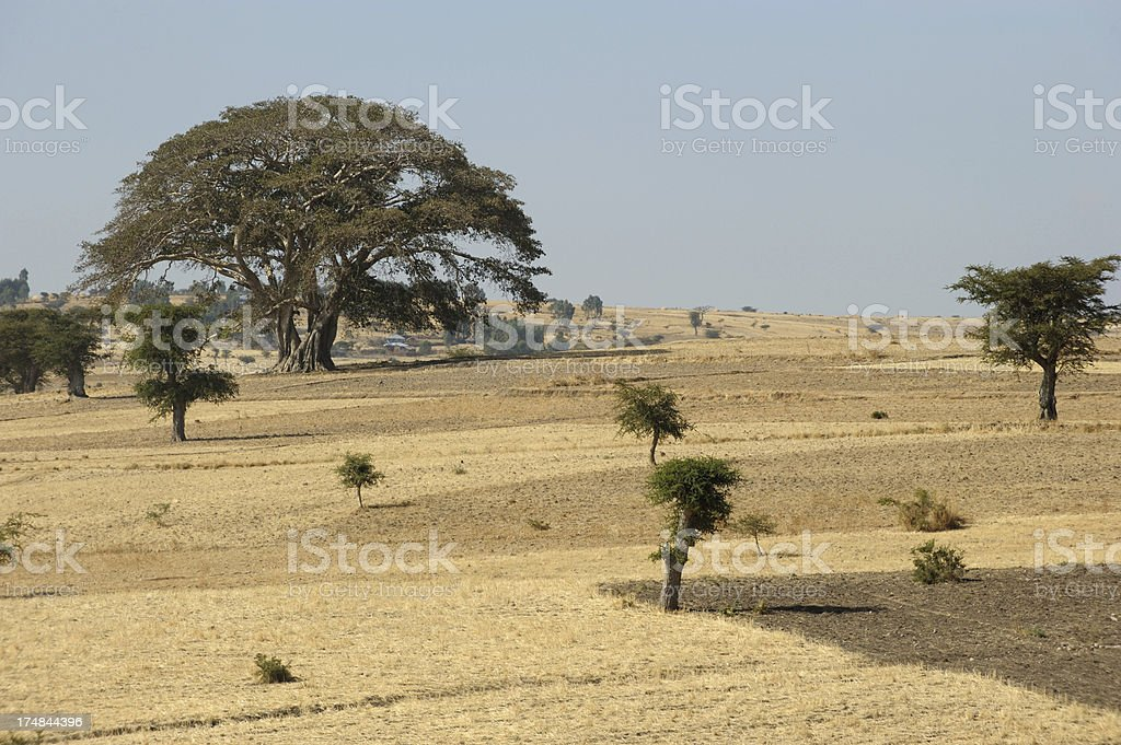 Ethiopian landscape, Giant fig tree and yellow fields in Ethiopia stock photo