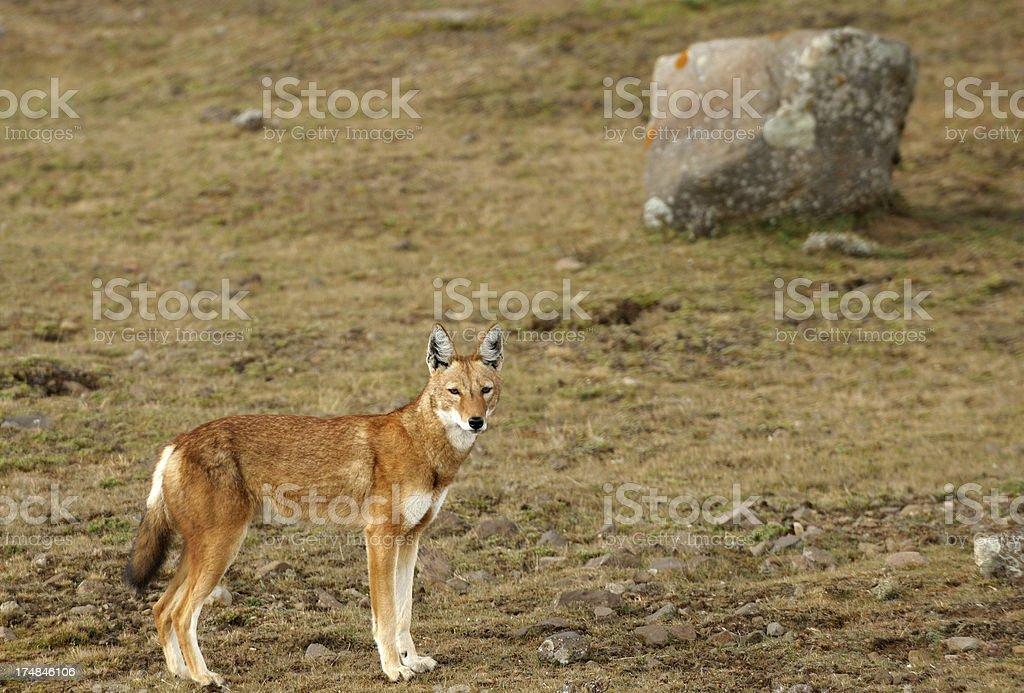 Ethiopian Wolf royalty-free stock photo