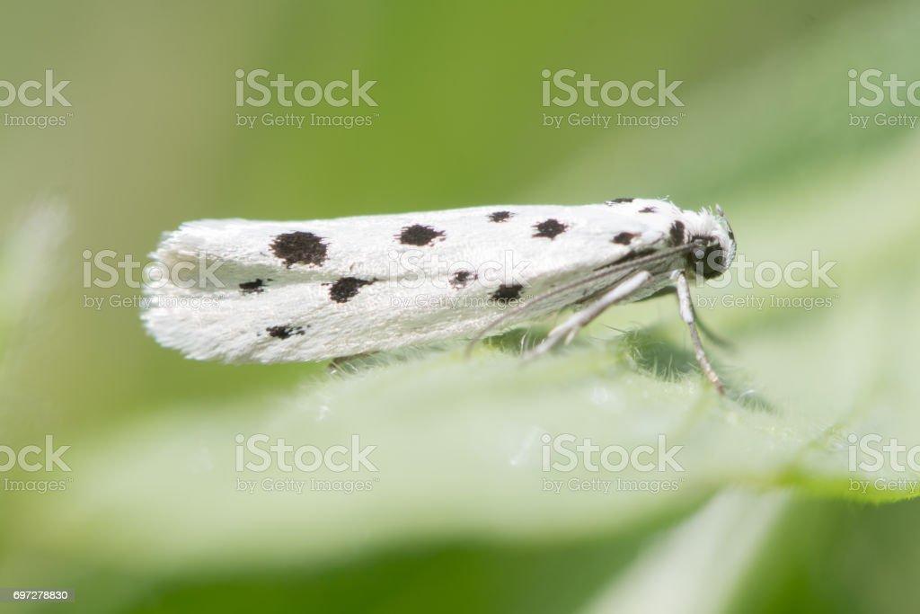 Ethmia dodecea micro moth stock photo