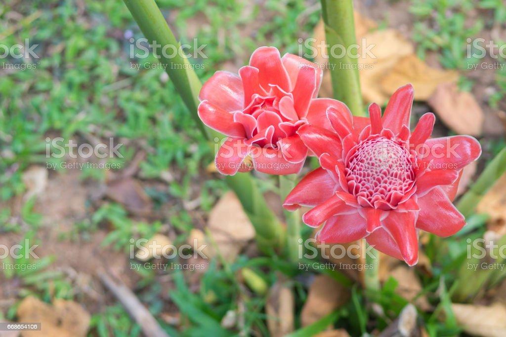 Etlingera elatior flower fresh decor  with blurry background stock photo