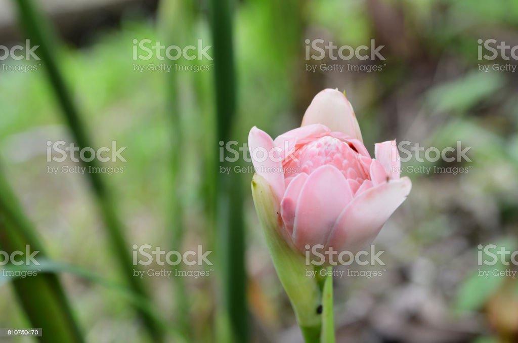 Etlingera elatior flower in the garden stock photo