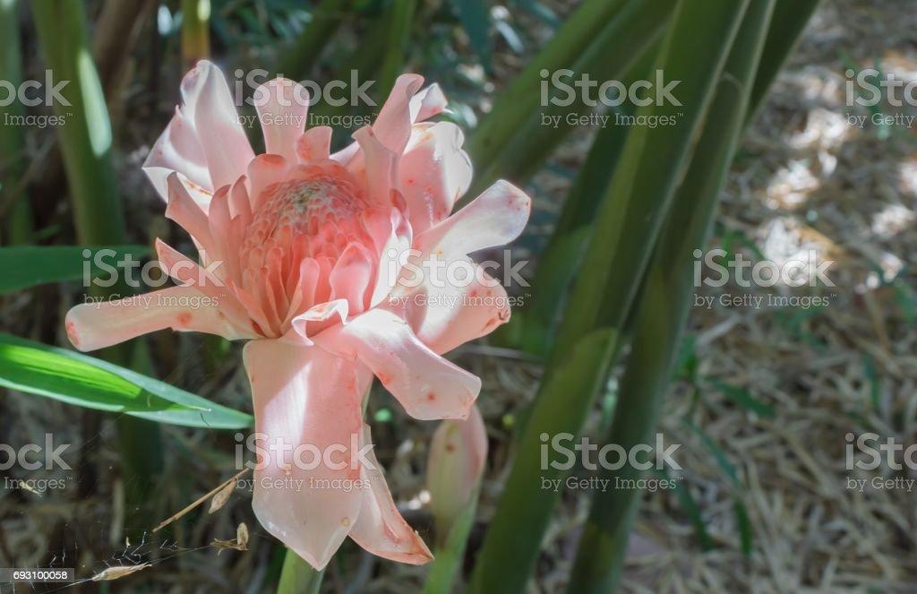 Etlingera elatior flower stock photo