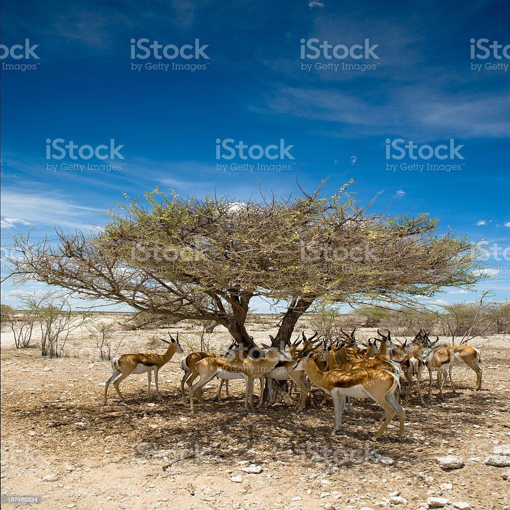 Etosha Pan Namibia Antelopes Africa stock photo