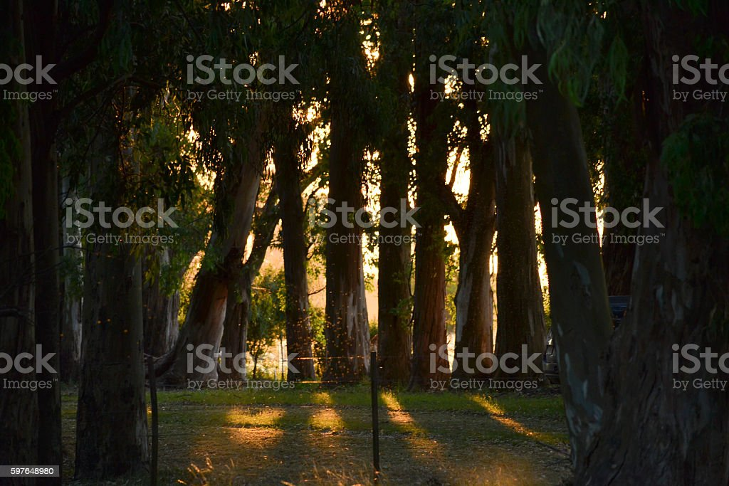 Eucaliptus forest sunlight stock photo