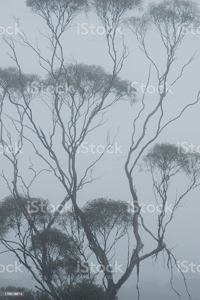 Eucaliptus in the mist royalty-free stock photo