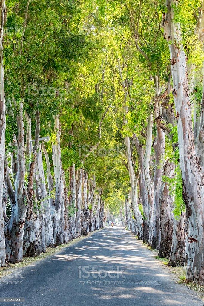 Eucalyptus alley. Rhodes, Greece stock photo