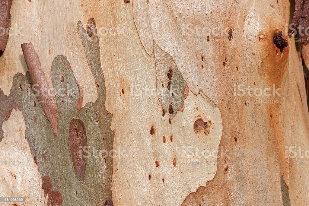 Eucalyptus bark background, tree in a forest. royalty-free stock photo