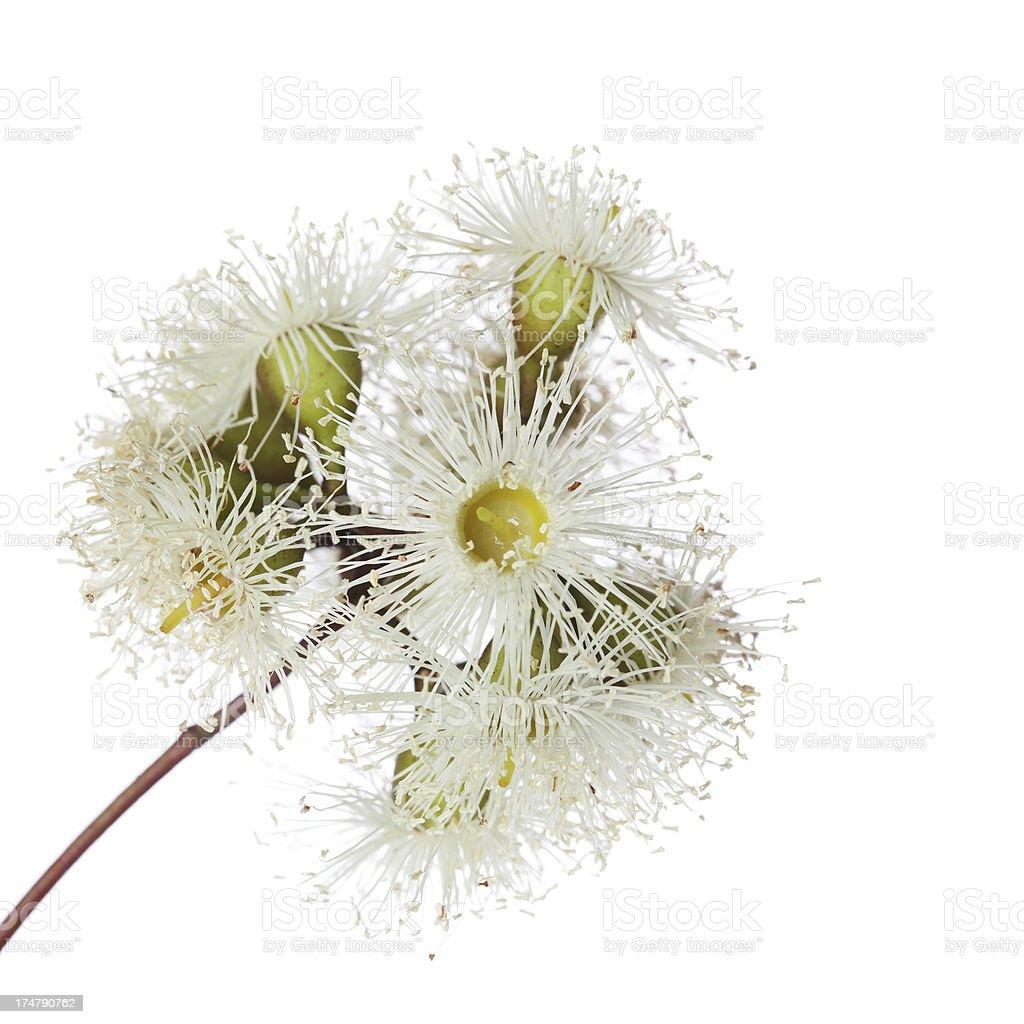 Eucalyptus blossoms on white royalty-free stock photo