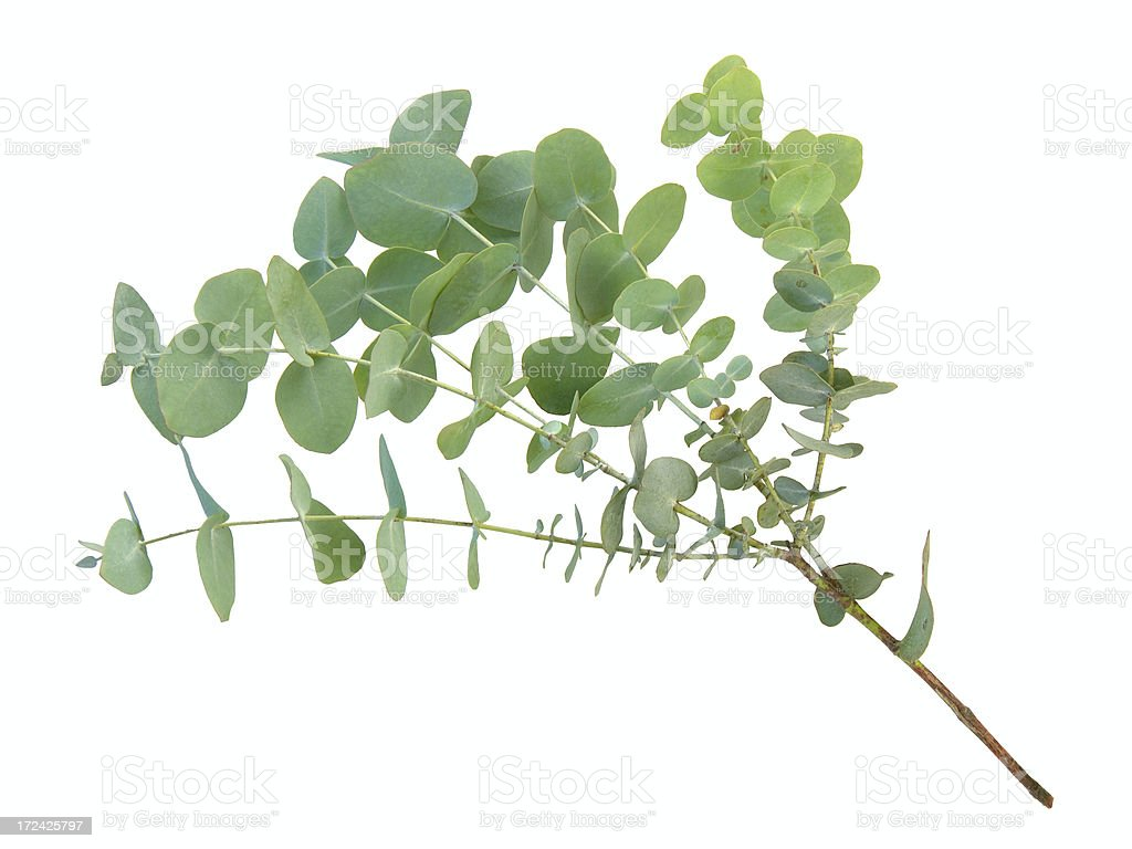 Eucalyptus branch royalty-free stock photo