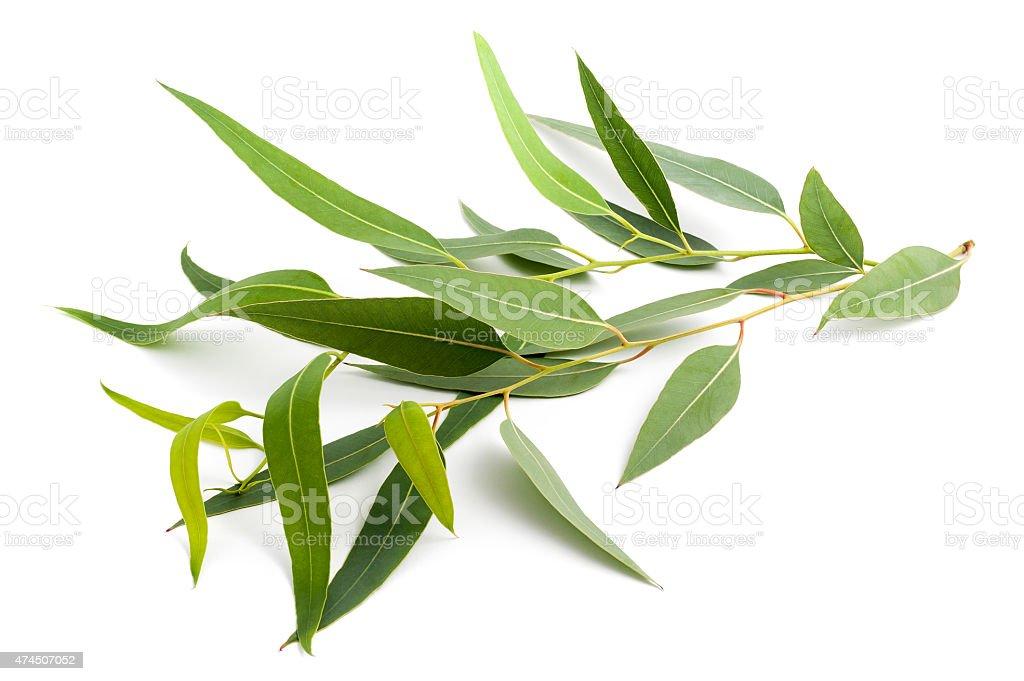 eucalyptus branch stock photo