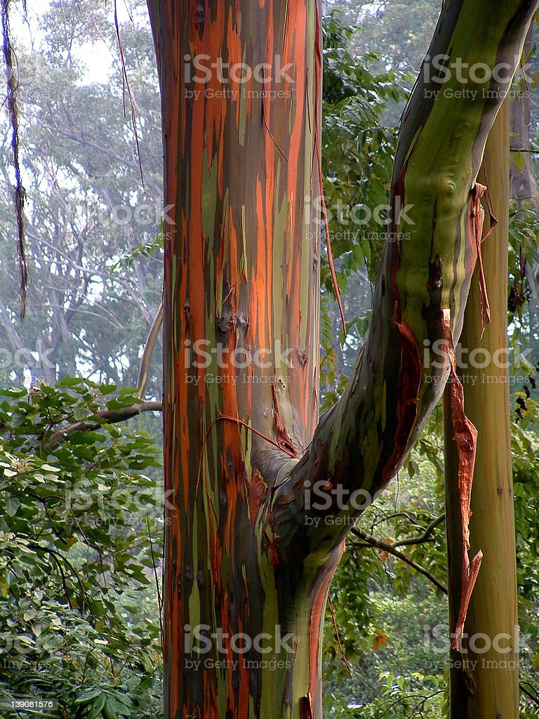 eucalyptus colors royalty-free stock photo