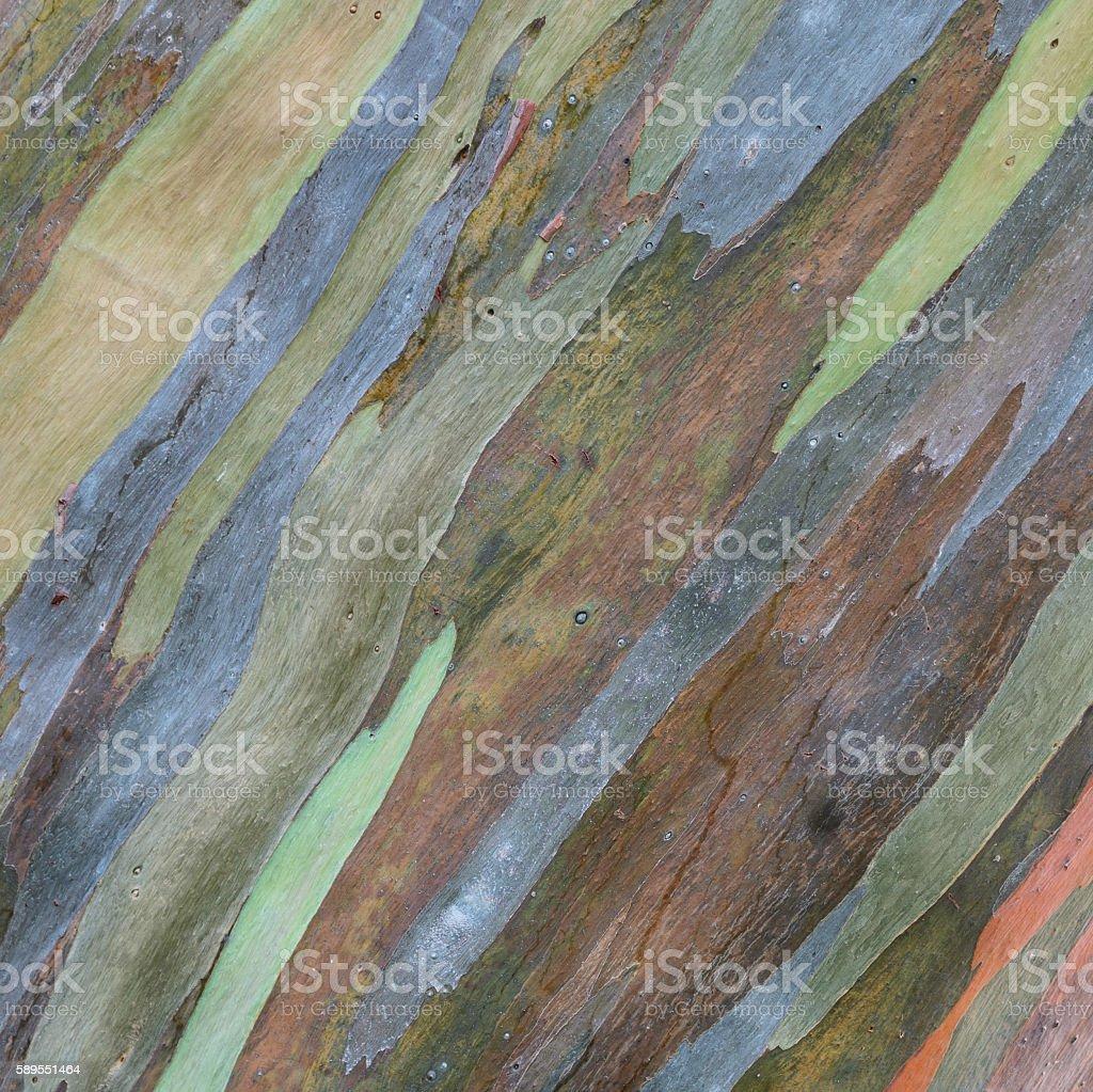 Eucalyptus deglupta tree bark texture stock photo