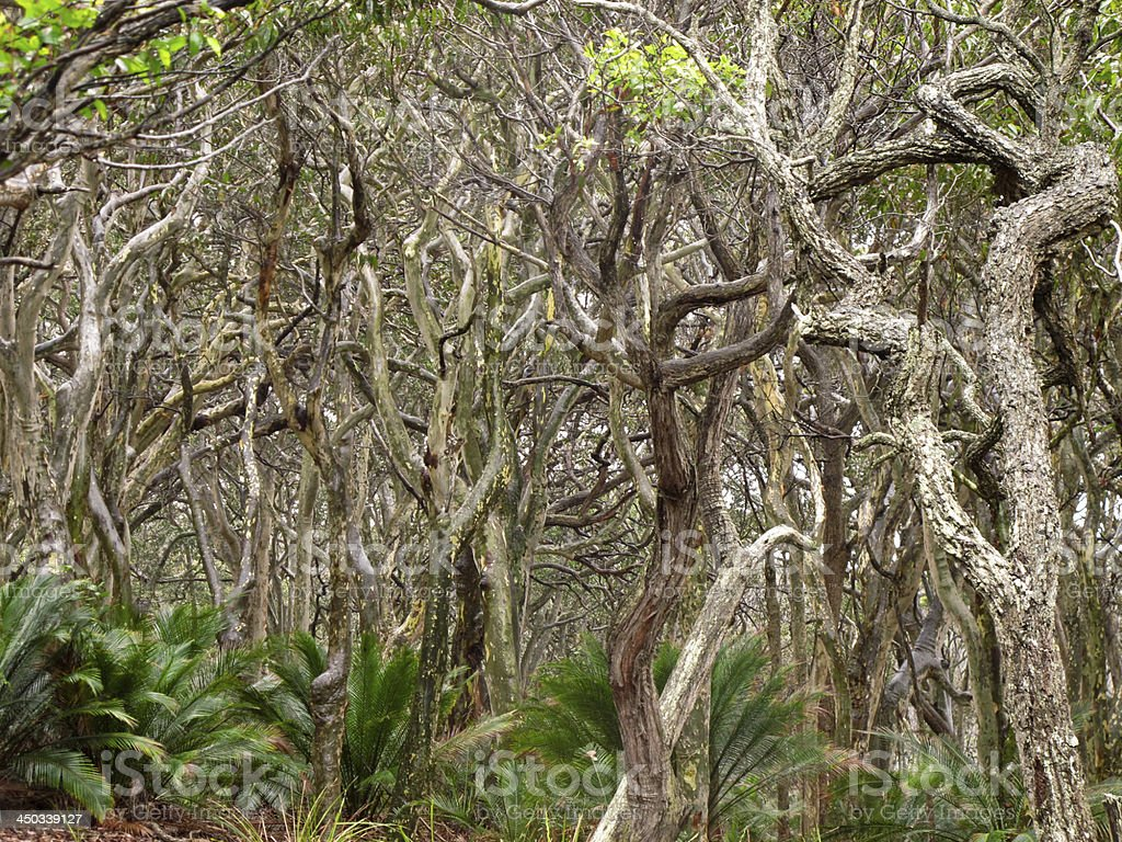 Eucalyptus forest formed by wind royalty-free stock photo