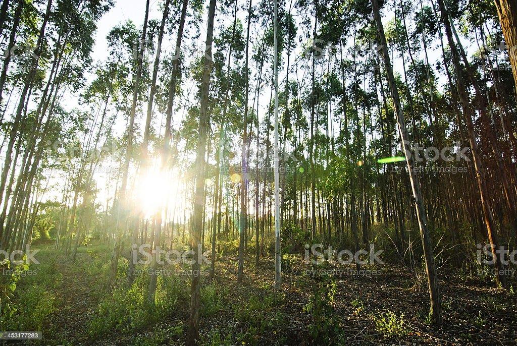 Eucalyptus Forest Grove stock photo