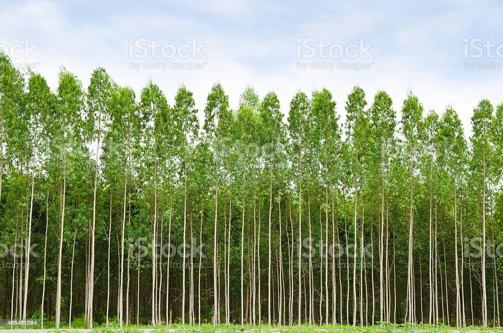 Eucalyptus forest in Thailand stock photo
