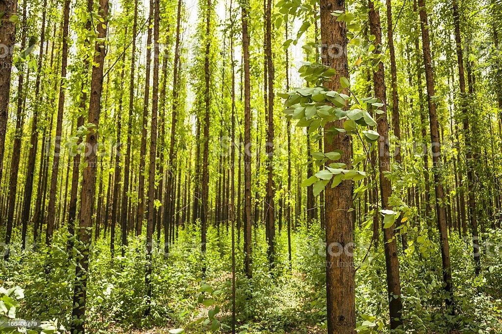 Eucalyptus forest stock photo