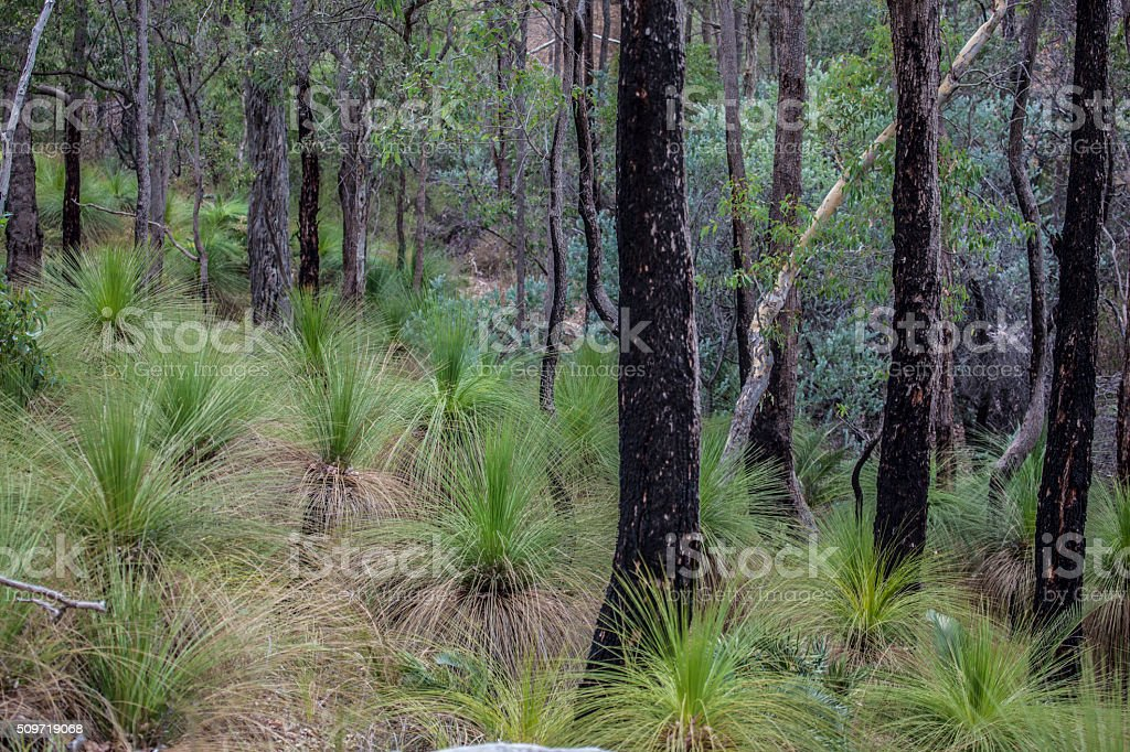 Eucalyptus forest (after fire) stock photo