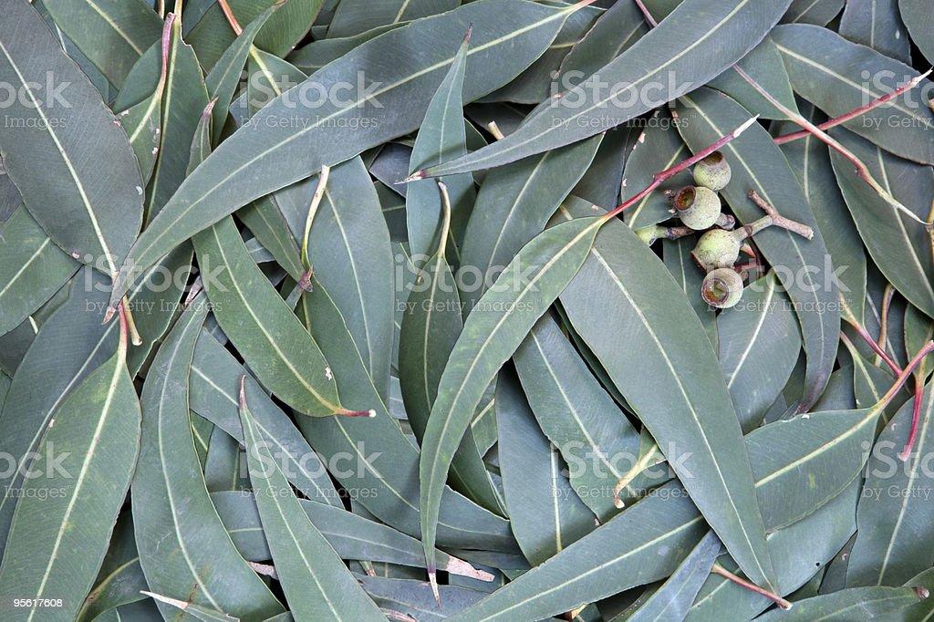 Eucalyptus Leaf Background royalty-free stock photo